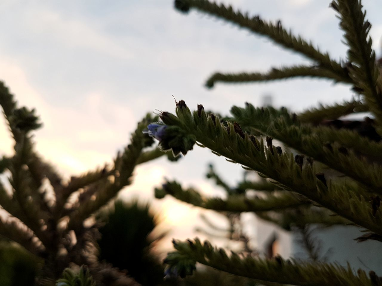 [TFC] Growth Plant Nature Tree Flower Beauty In Nature Branch Needle - Plant Part Outdoors Cloud - Sky Pine Cone No People Sky Day Cactus Garden Lifestyles Colors Red Inspirations Scenics Sunset Sunlight Freshness Contrast