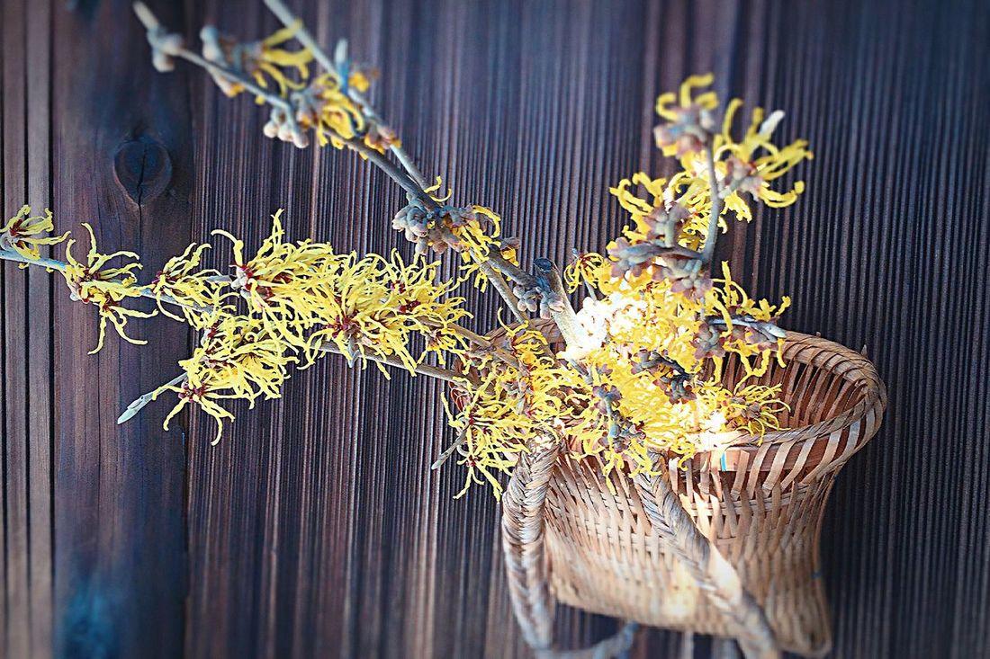 満作 Witch hazel Close-up No People Fragility Nature Outdoors Day Kyoto,japan Witch Hazel Flowers Flowers, Nature And Beauty Machiya Omotenashi  Kyoto Nature Building Exterior Inspiration