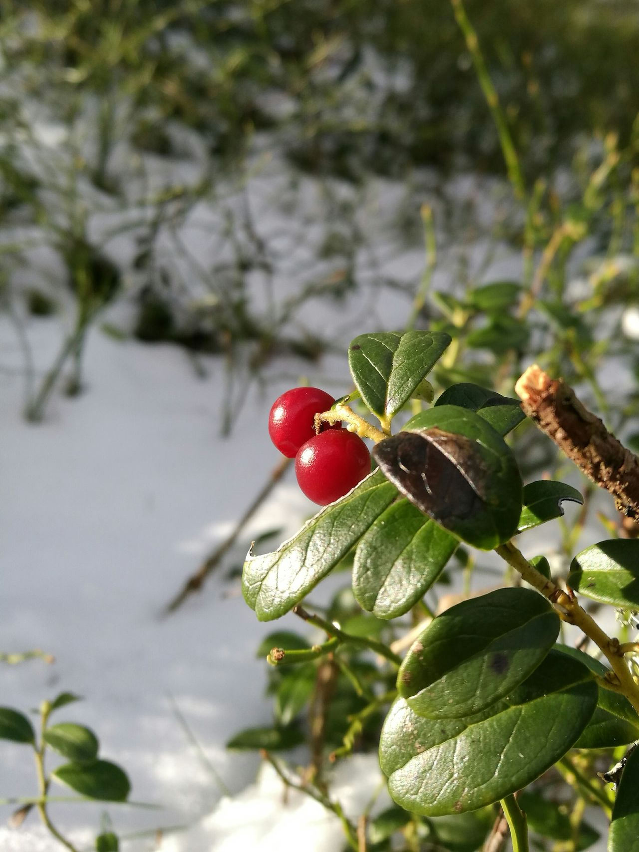 Winter Snow Cold Temperature Close-up Christmas Nature Evergreen Cowberry Berries In Snow Red Berries And Snow Frozen Winter