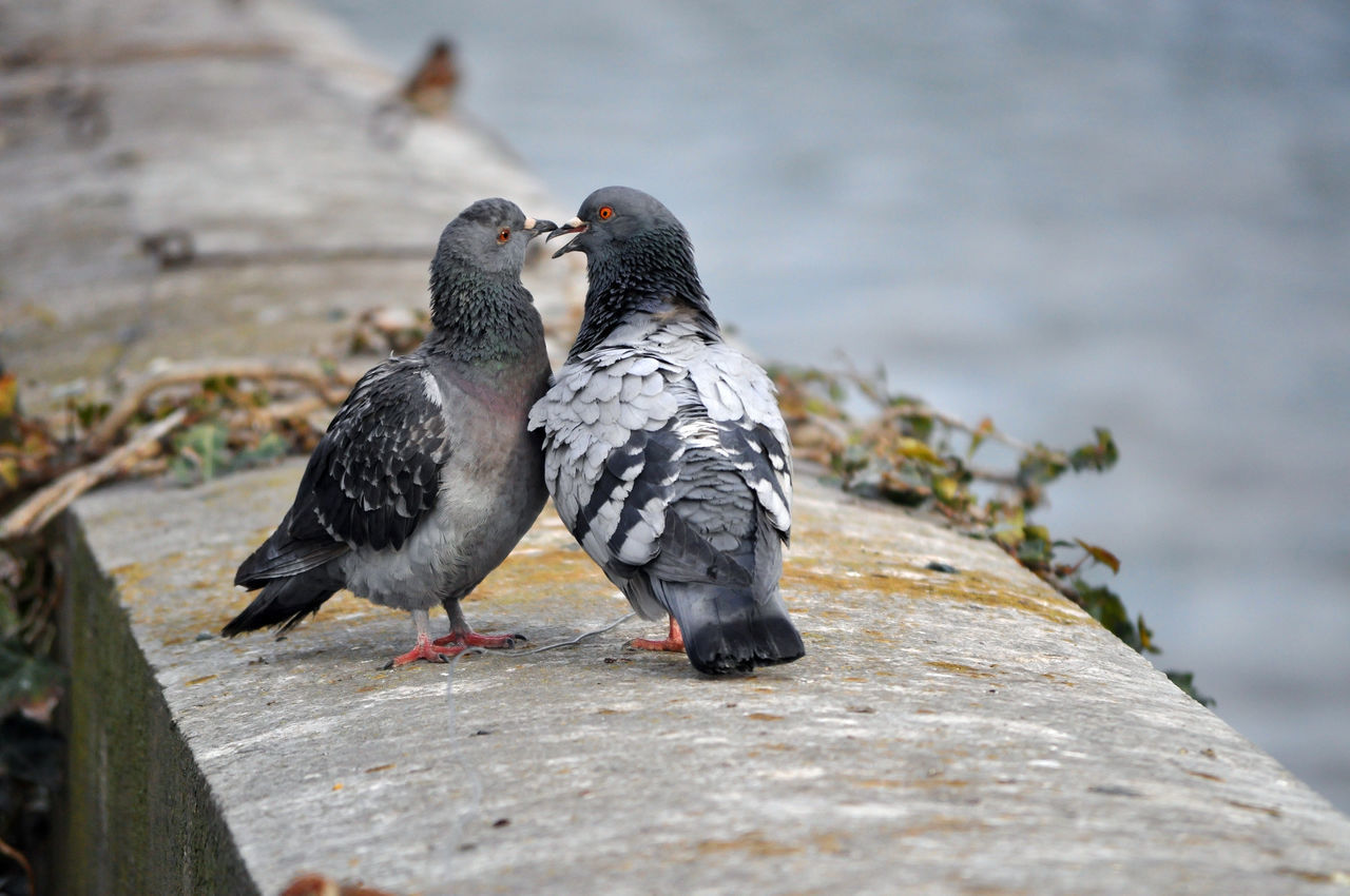 It must be love ... Animal Animal Themes Animal Wildlife Animals In The Wild Bird Birds Oiseau Oiseaux Oiseaux Urbains Paris Pigeons