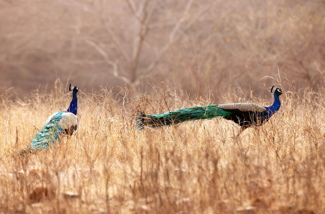 Beautiful stock photos of peacock,  Animal Themes,  Animals In The Wild,  Bird,  Competition