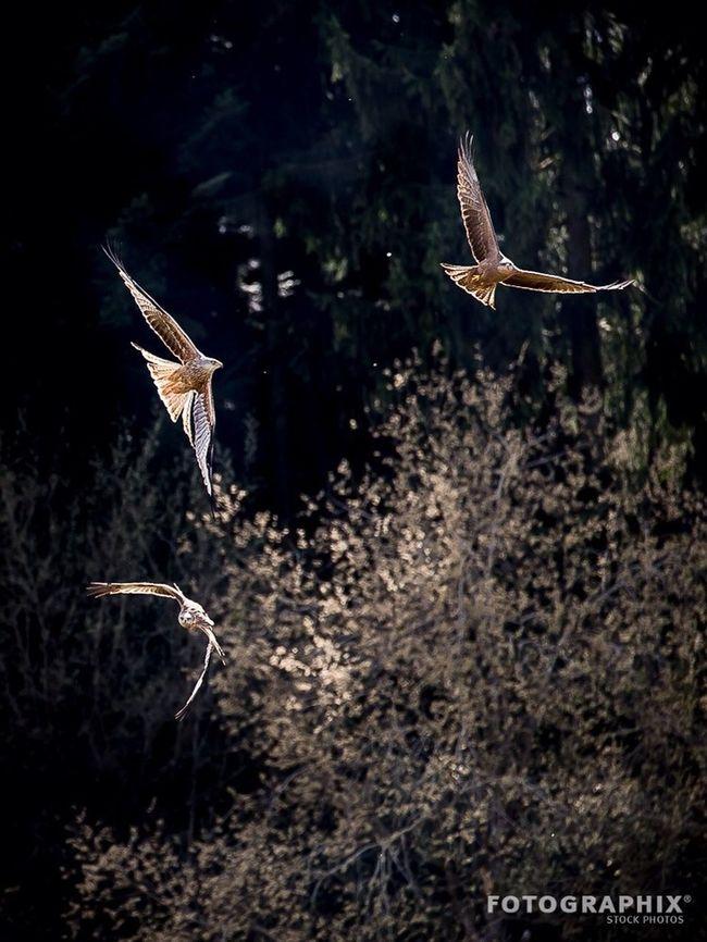 Milane beim Spiel Herrliberg Vogel Nature_collection