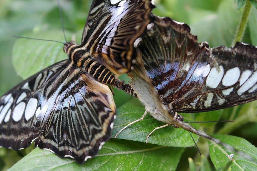 Insect Animal Wildlife Animals In The Wild Animal Themes Leaf Close-up Nature No People Outdoors Abdomen Day Mating Pair Of Insects Mating Mating Season Butterflies Beauty In Nature