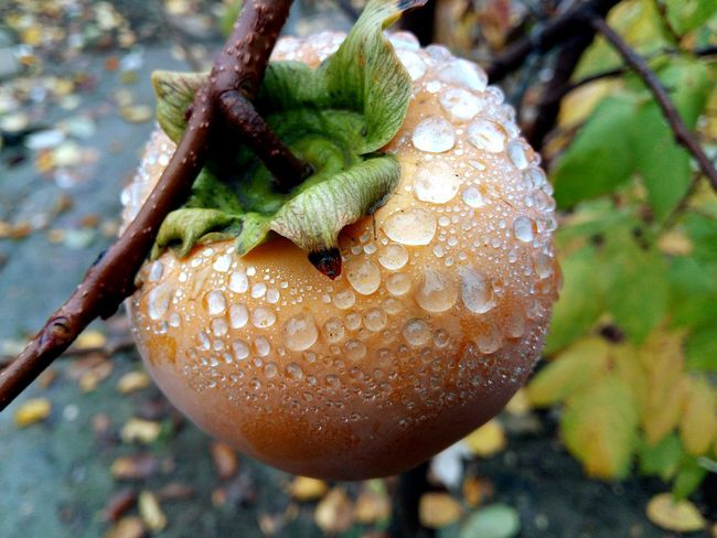 Persimmon Fruit Nature Beauty In Nature Freshness After The Rain Drops Waterdrops Close-up Focus On Foreground Mobilephotography LeEco Letv LeTv X600
