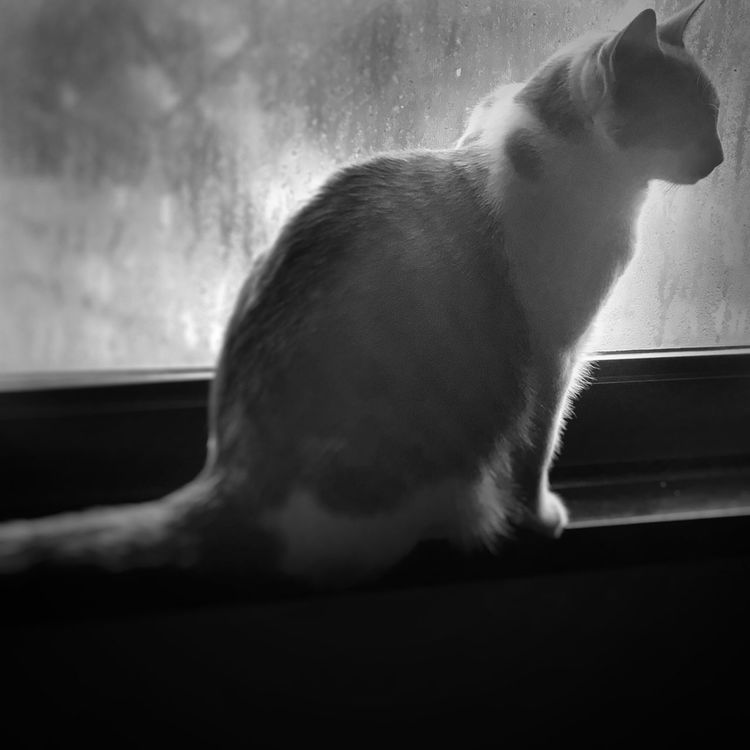 Cat Kitten Window Pets Domestic Animals Animal Themes Feline Nature Domestic Cat Silhouette Blackandwhite Monochrome Thoughtful Serenity Morning Hurricane Harvey Hurricane After My animal muse, Sophie, sitting in the window the morning after hurricane Harvey