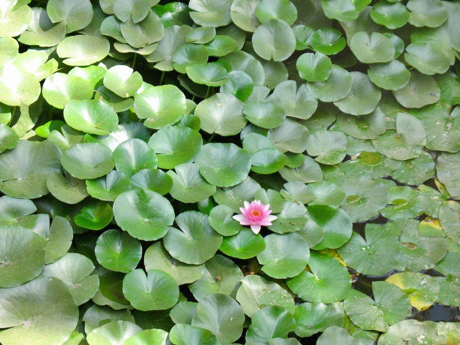 Lilypads Lily Pond 1 Flower Pink Flower