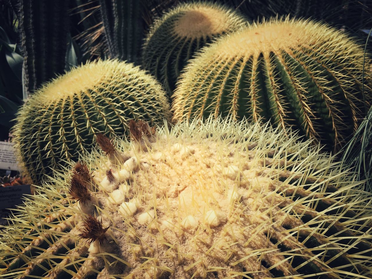 Golden Barrel Cactus Goldkugelkaktus Topfpflanzen Kaktus Golden Ball Big Cactus Cactus Blossom Botanic Garden Botanischer Garten