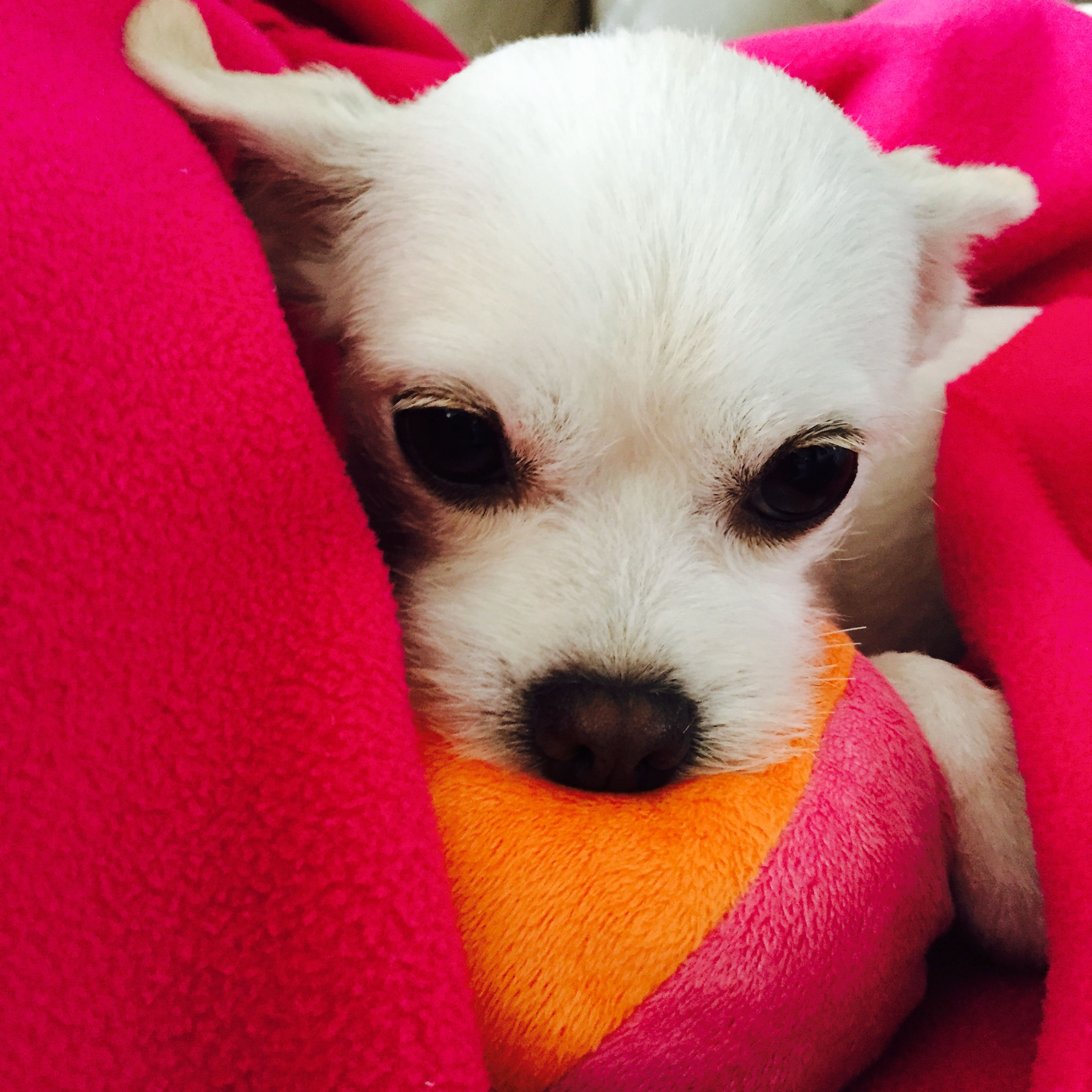 domestic animals, pets, animal themes, indoors, one animal, dog, mammal, close-up, portrait, looking at camera, white color, animal head, relaxation, bed, no people, pink color, high angle view, red, cute, animal body part