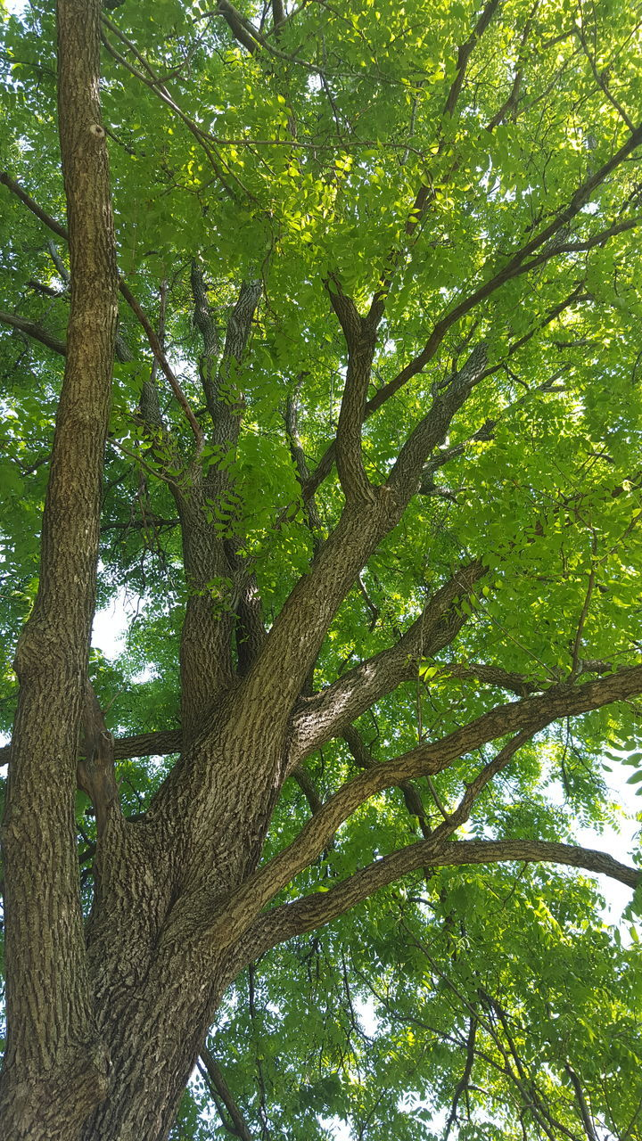 tree, tree trunk, branch, nature, low angle view, green color, growth, leaf, forest, outdoors, beauty in nature, day, no people, tree area, sky