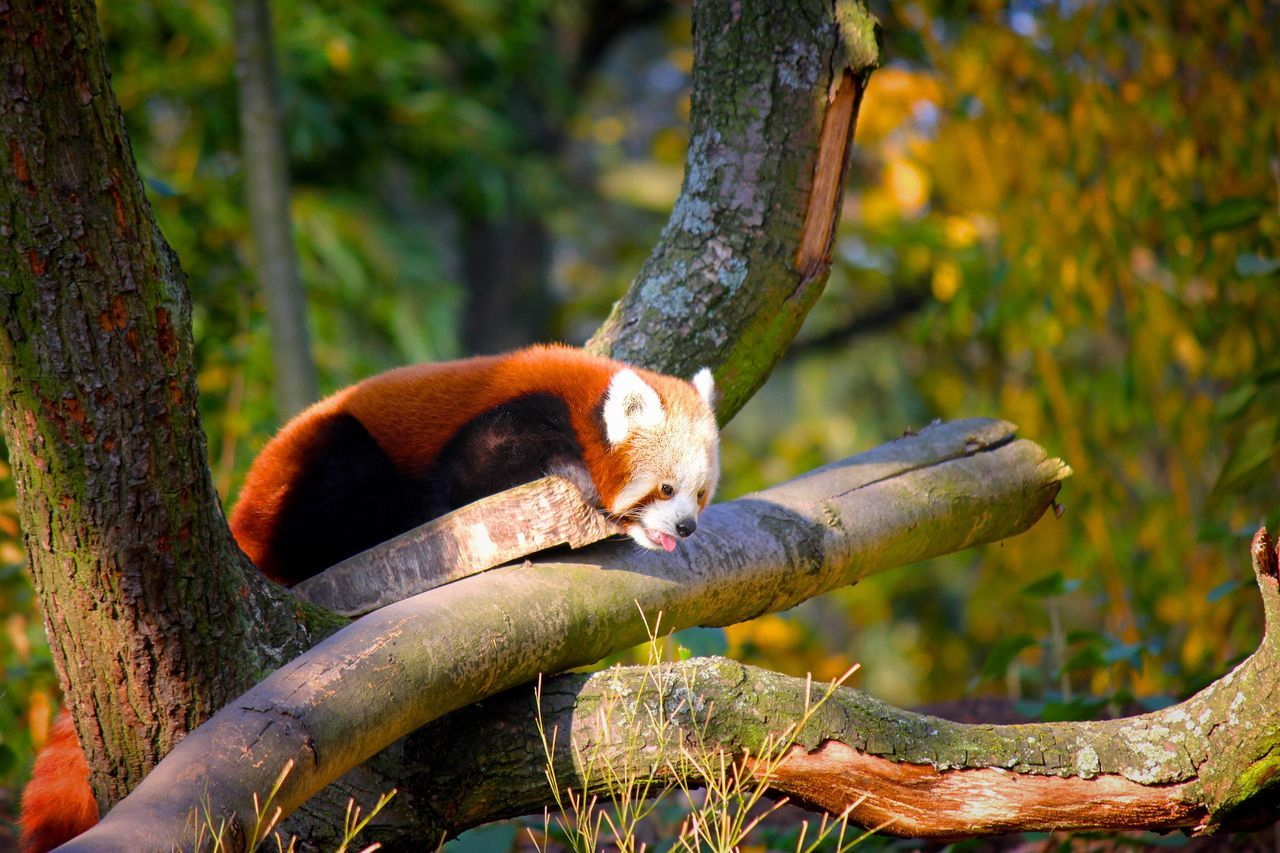 Animals In The Wild One Animal Nature Red Panda Animal Wildlife Animal Themes Tree Sweet Cute No People Outdoors Focus On Foreground Mammal Tree Trunk Day