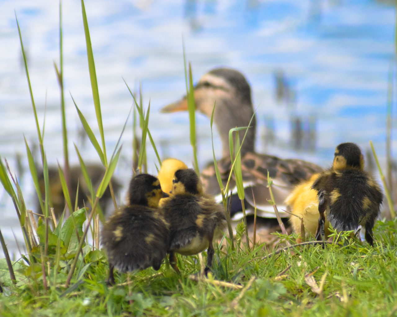 young bird, animal themes, young animal, gosling, lake, animals in the wild, duckling, nature, bird, grass, animal wildlife, water, outdoors, day, animal family, togetherness, no people