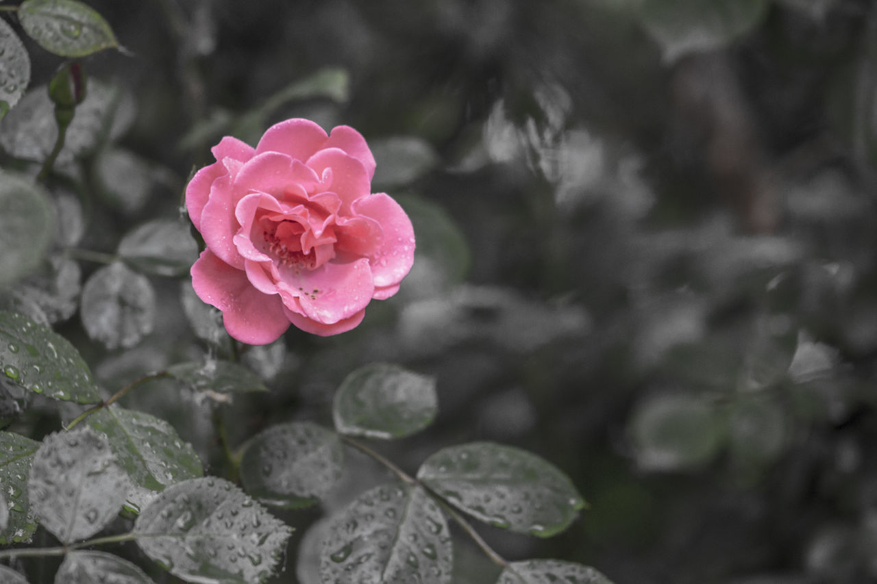 Beauty In Nature Blooming Close-up Day Flower Flower Head Focus On Foreground Fragility Freshness Growth Nature No People Outdoors Petal Pink Color Plant Rose - Flower Red Leaf Green Color Drop Springtime Wet Red Rose After Rain