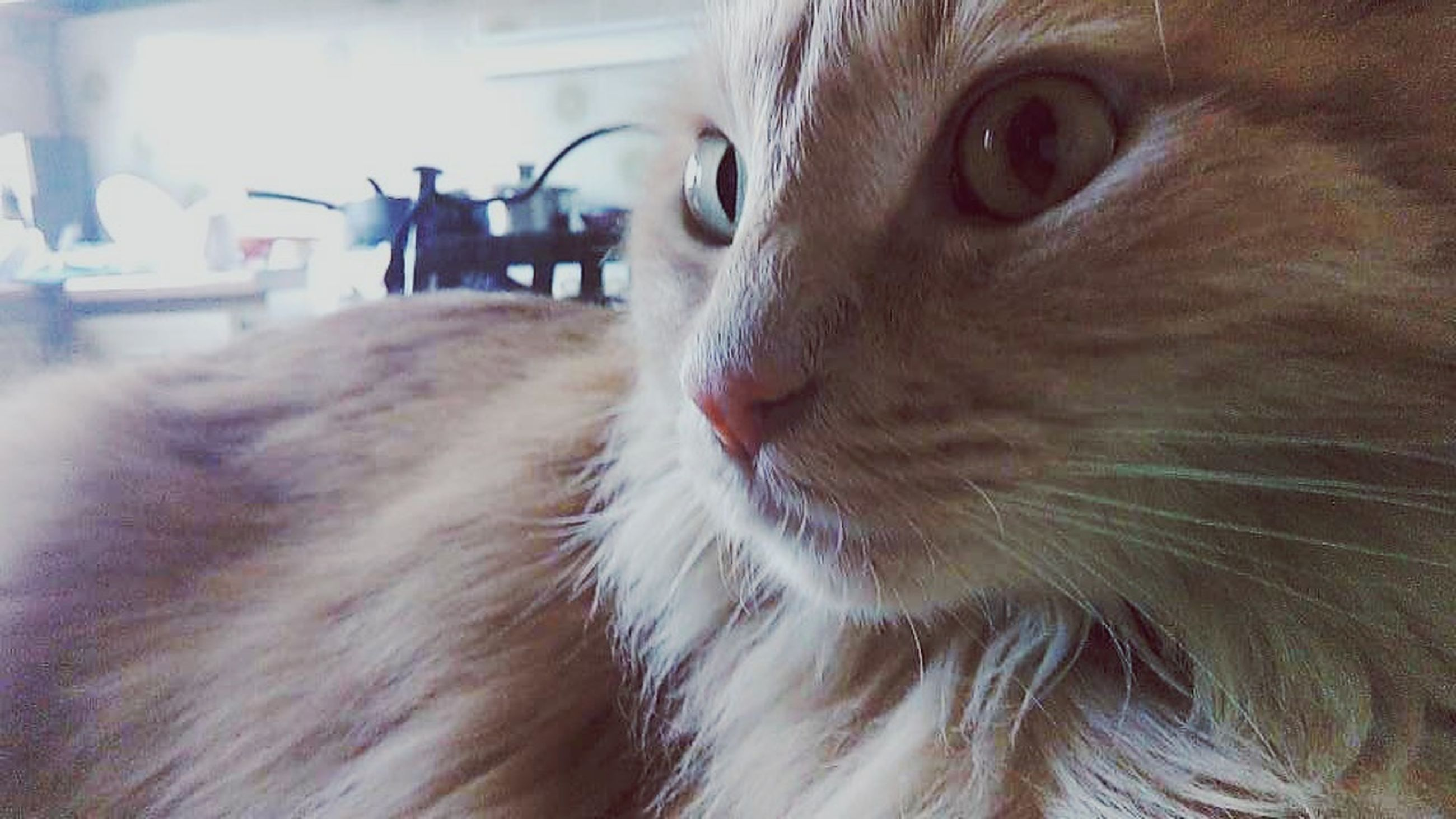 one animal, animal themes, domestic animals, mammal, pets, animal head, close-up, domestic cat, whisker, animal body part, cat, animal hair, feline, looking away, animal eye, focus on foreground, indoors, portrait, part of, no people
