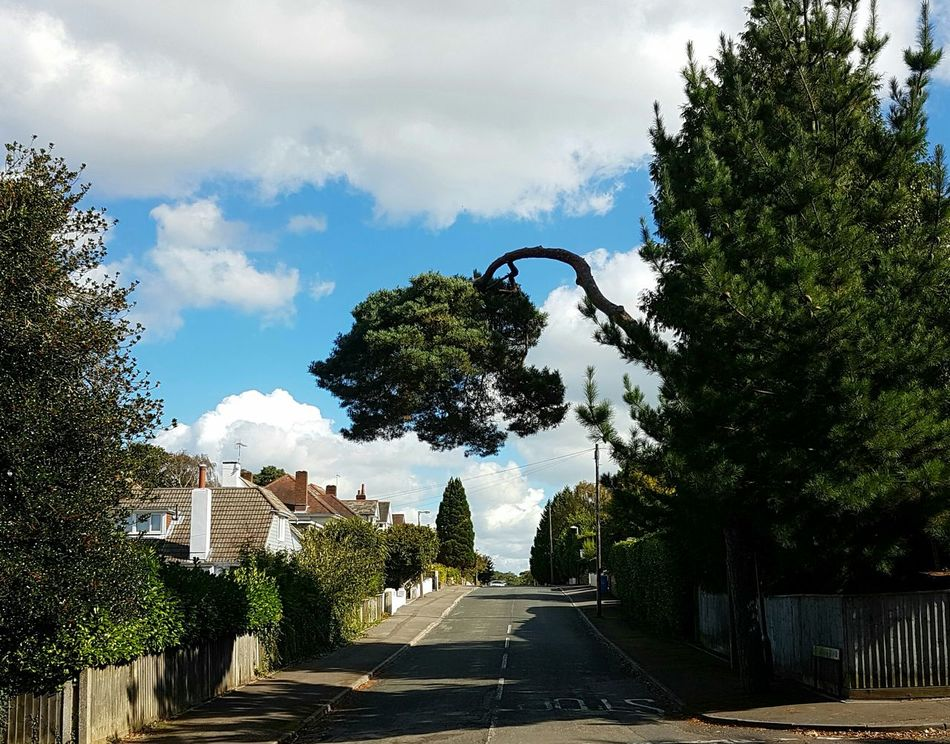 Scots Pine Street Scene Quiet Street Blessing Tree Clouds And Trees Sunday Afternoon Town Fences Poole, Dorset England Uk