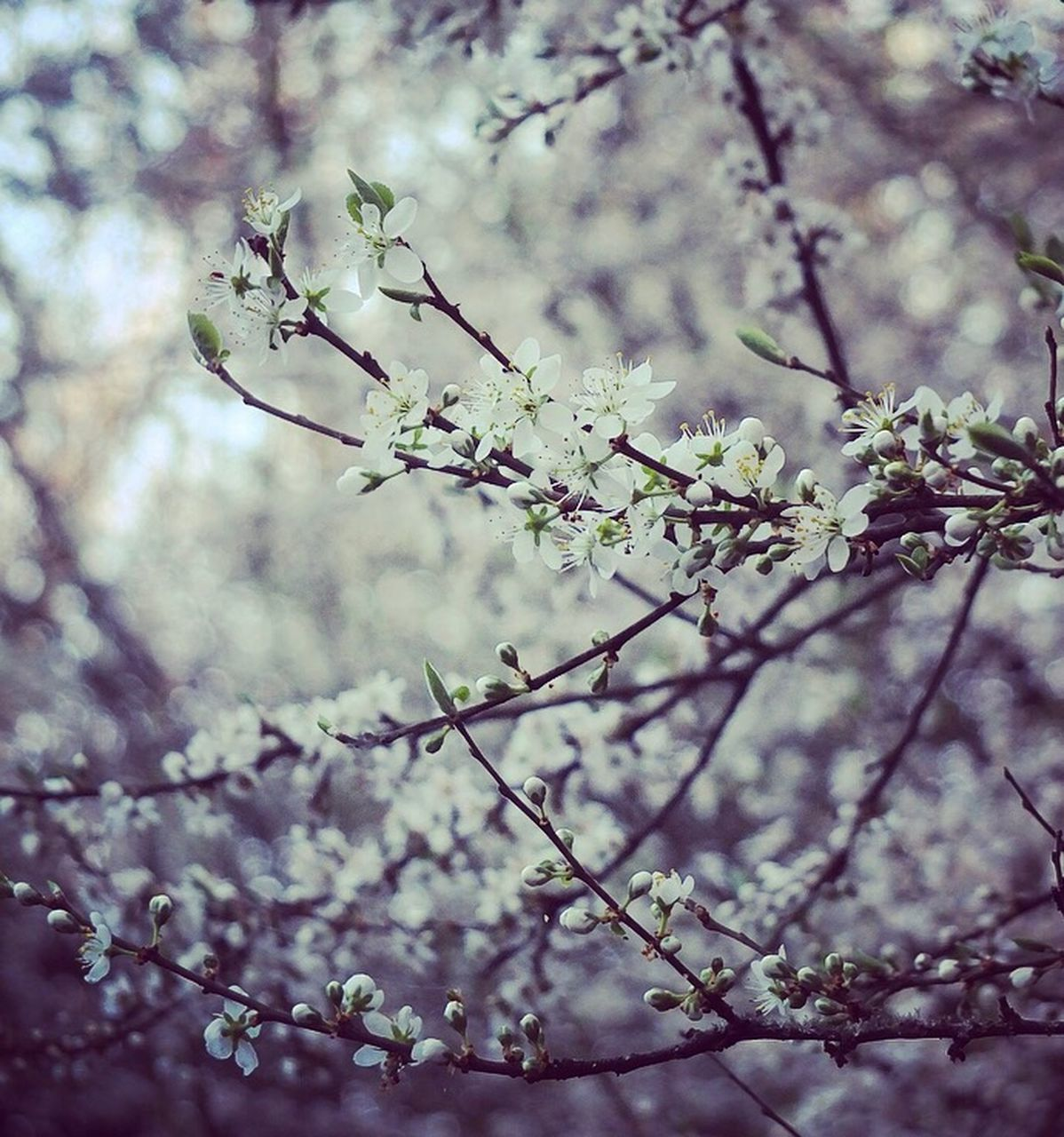 flower, blossom, tree, springtime, fragility, nature, branch, beauty in nature, apple blossom, growth, freshness, orchard, twig, no people, day, outdoors, close-up, beauty, flower head