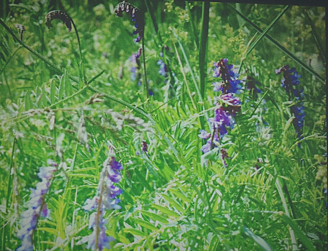 growth, nature, purple, plant, flower, green color, beauty in nature, no people, outdoors, grass, day, close-up