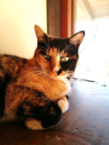 Calico Cat Wood Materials Chest Relaxation Sun Light Cute Lovely Cat Lover Cat Cat Lovers Lying Down EyeEm Selects Pets One Animal Domestic Animals Animal Themes Indoors  Dog Mammal
