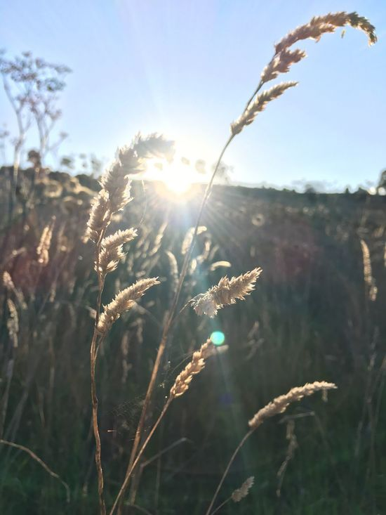 Growth Nature Plant Sunlight Sun Lens Flare Bright Field No People Outdoors Agriculture Tranquility Summer Beauty In Nature Wheat Sunshine Day Close-up Flower Freshness Wonders Will Never Cease To Amaze Me.. Beauty In Nature Many Blessings Hello World Enjoying Life The Great Outdoors - 2017 EyeEm Awards