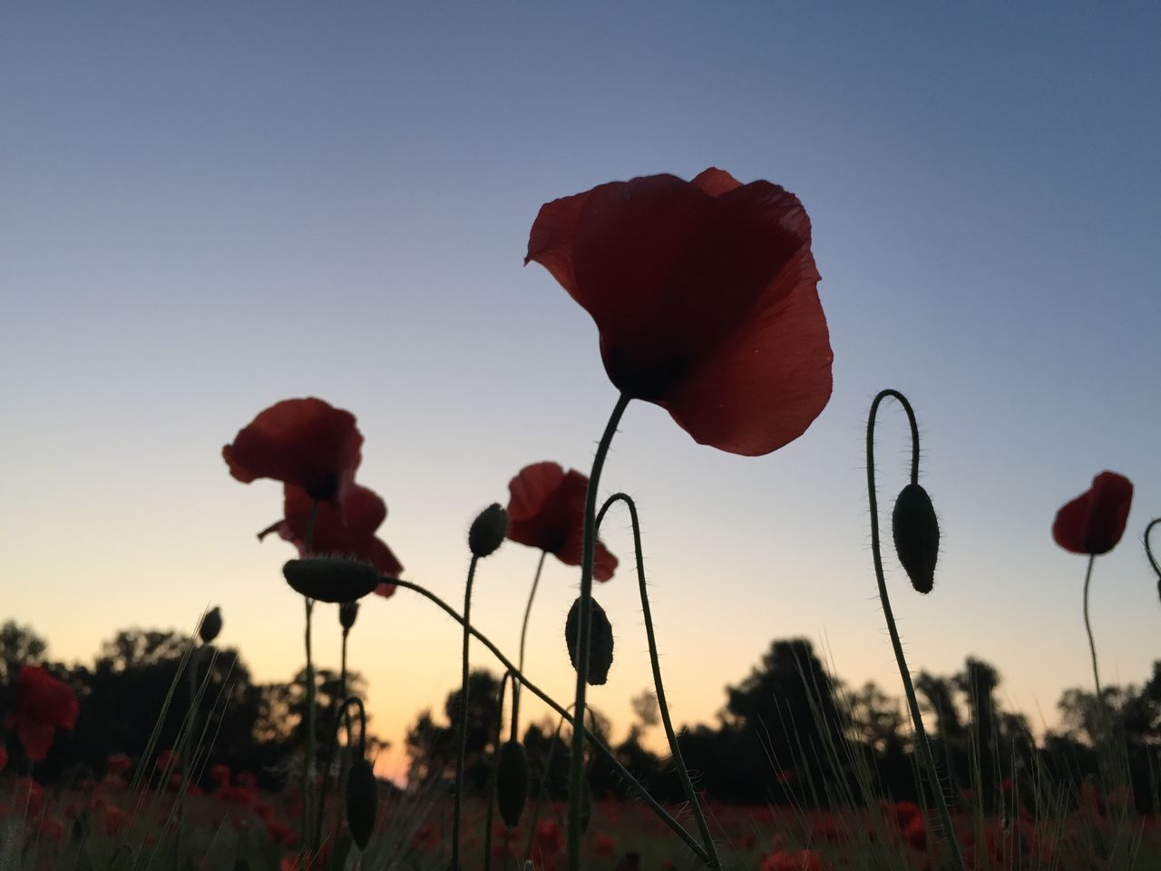 Poppy sunset Beauty In Nature Blooming Clear Sky Close-up Day Field Flower Flower Head Focus On Foreground Fragility Freshness Growth Nature No People Outdoors Petal Plant Poppy Poppy Flower Poppy Flowers Red Silhouette Sky Sunset Tree