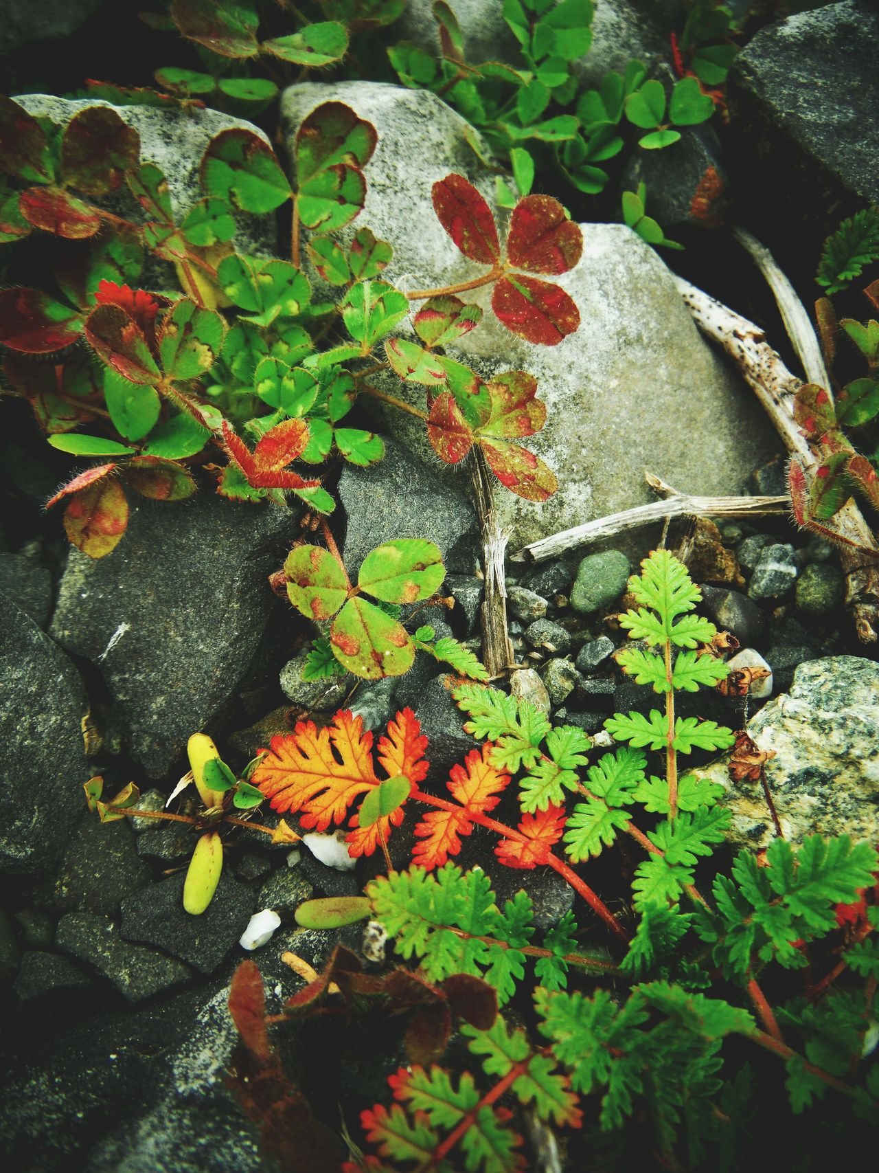 Autumn colors Leaf Growth Plant Green Color Fragility Black Butte Black Butte California Rock And Plant Arrangement Plant And Stone Fuzzy Plant Little Plants Pretty Plant Leaves Autumn Autumn Colors Autumn Leaves Fall Beauty Fall Colors Fall Leaves Orange And Green Red And Green Leaves Decorative Autumn Decor Fall Decor