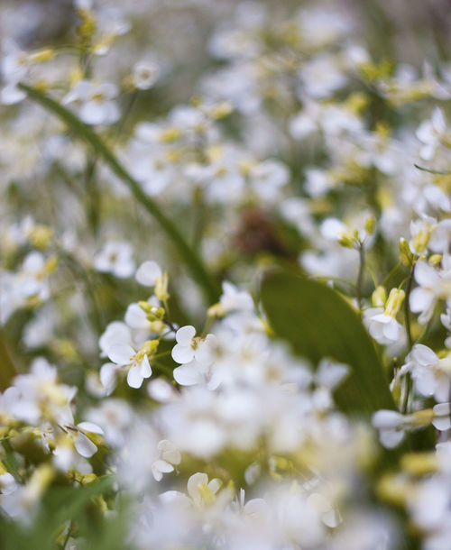 Backgrounds Beautiful Bokeh Beauty In Nature Close-up Field Flowers Grass Green Color Macro Nature Plant Selective Focus White Color White Flowers