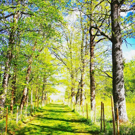 Growth Green Color Nature Tree Beauty In Nature Day No People Outdoors Grass Norway Nature Scenics Tranquility Alley Of Trees