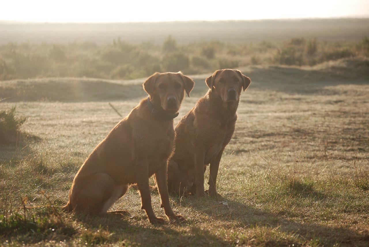 Bonzo @bonzosworld Instagram Dog Domestic Animals Pets Mammal Animal Themes Field Togetherness Retriever Outdoors Nature Grass No People Day Lab Red Labrador