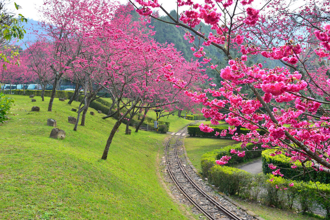 Beauty In Nature Blossom Botany Branch Day Flower Flower Head Fragility Freshness Grass Growth Nature No People Outdoors Pink Color Rhododendron Scenics Sky Spring Springtime Tranquility Tree 九族文化村 旅行 櫻花