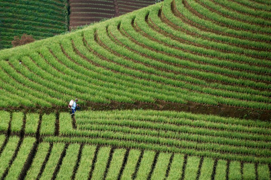 Day INDONESIA Majalengka Agriculture Plantation Pattern Real People Nature Working Outdoors Onion Beauty In Nature Landscape One Person Occupation