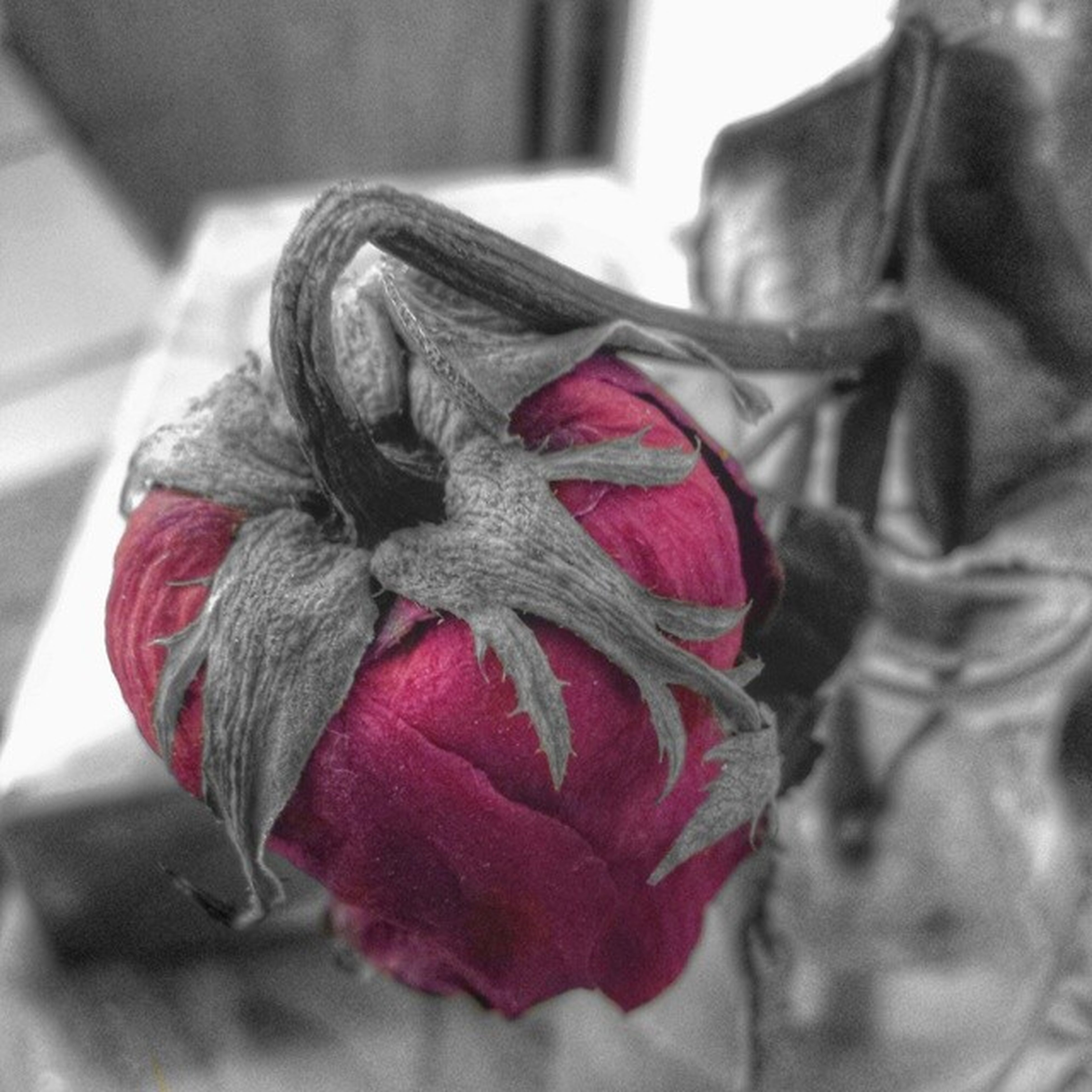red, close-up, focus on foreground, indoors, rose - flower, flower, no people, selective focus, day, pink color, petal, still life, rose, fabric, home interior, nature, fragility, textile, flower head