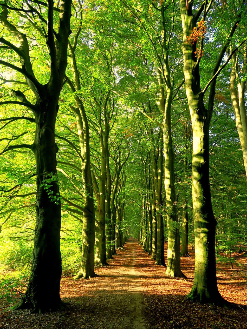 Vanishing into the deep of the woods Autumn Autumn Colors Autumn Light Beauty In Nature Beech Forest Day Green Color Growth Growth Landscape Nature No People Outdoors Scenics Sunlight The Way Forward Tranquil Scene Tranquility Tree Tunnel View Vanishing Point Walk In The Woods
