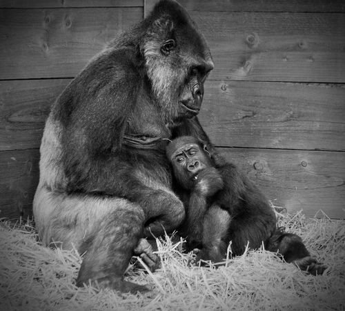 Bristol Zoo Animal Family Togetherness Motherhood Mother And Child Gorilla Primate