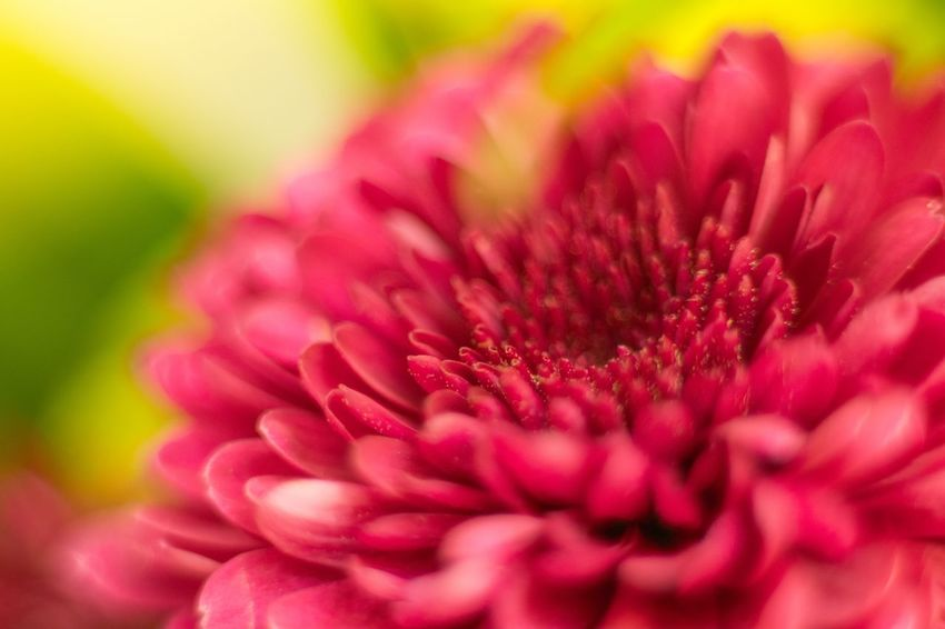 Flower Petal Fragility Beauty In Nature Nature Flower Head Freshness Pink Color Close-up Growth No People Plant Dahlia Blooming Outdoors Day