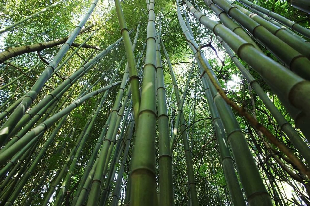 Bamboo Bambooforest Southern Illinois  Nature Low Angle View Canonphotography