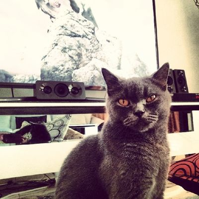 """Stop showing me that """"nk mkn"""" face!!! Montel Britishshorthair Igcats Myhungercat"""