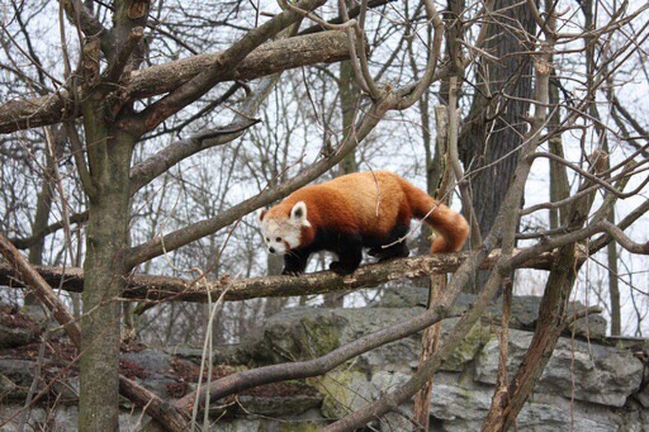 Tree One Animal Animal Themes Branch Bare Tree Tree Trunk Mammal Zoo Red Panda Outdoors Day Nature No People Panda