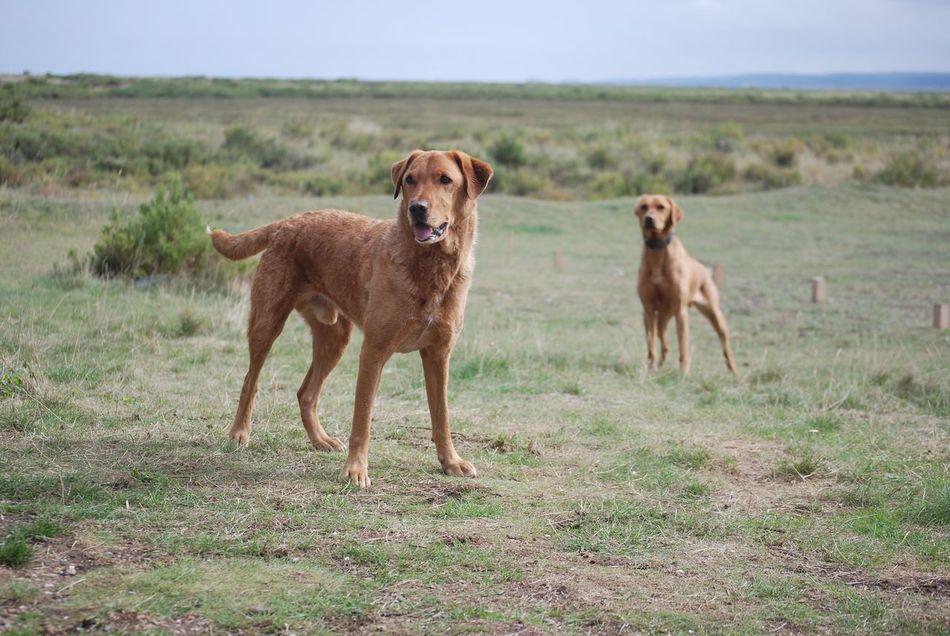 Bonzo @bonzosworld Instagram Mammal Animal Themes Field Domestic Animals Grass Dog Nature No People Outdoors Pets Day Togetherness Lab Red Labrador