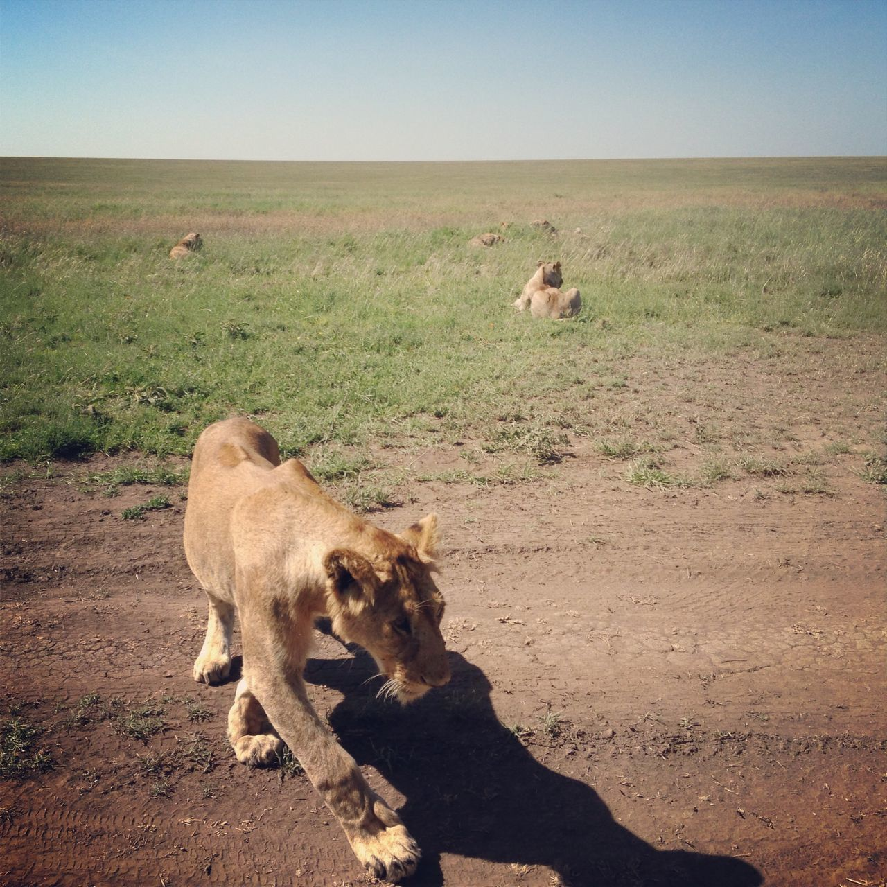 Beautiful stock photos of lion, Animal Themes, Clear Sky, Day, Dirt