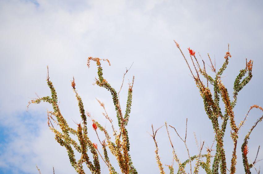 Cactus Cactus Flower Ocotillo California Southwest  America Nature