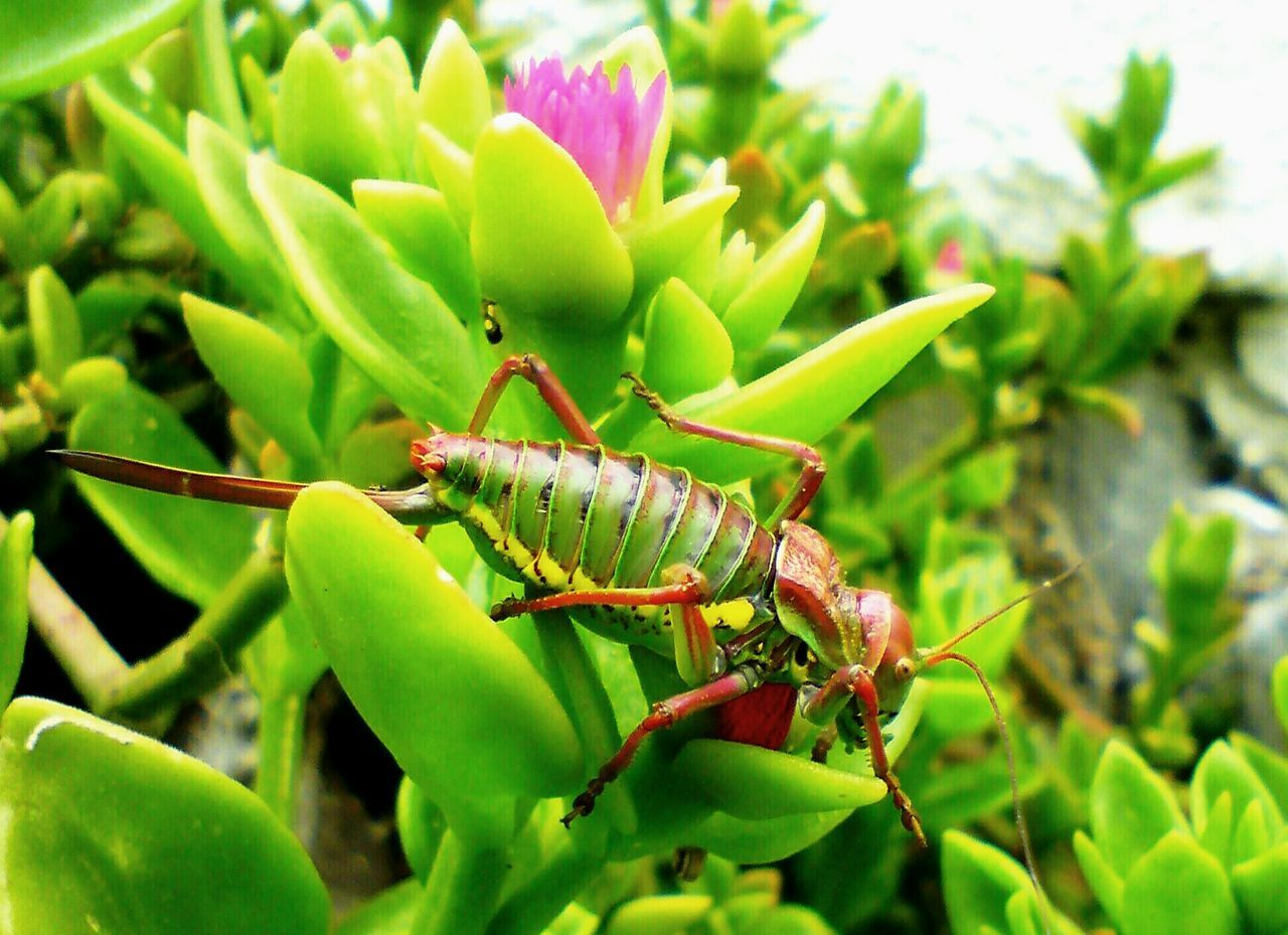 Great Green Bush-Cricket Great Green Bush Cricket Insects Of Eyeem Insects  Insects Collection Close Up Photography Bush Crickets Crickets