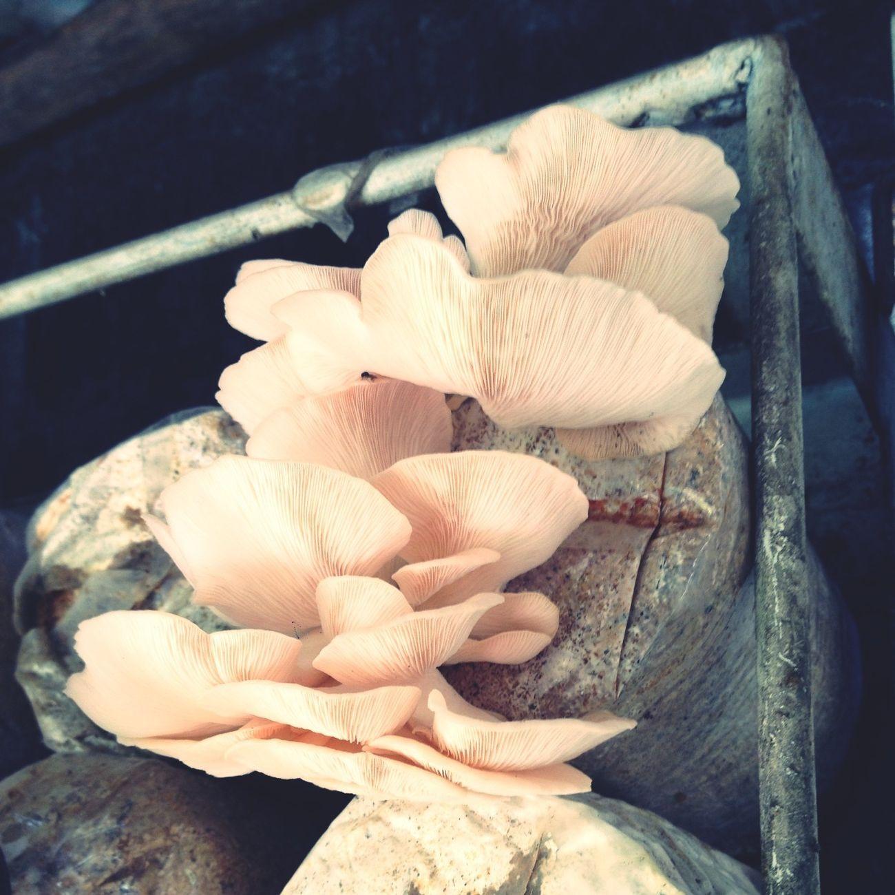 Pink Oysters mushroom