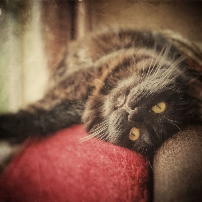 Melba Pets Selective Focus Domestic Cat Whisker Black Cats Chillaxing Chilling Vintage Cat Eyes Furry Friends Furry Cat