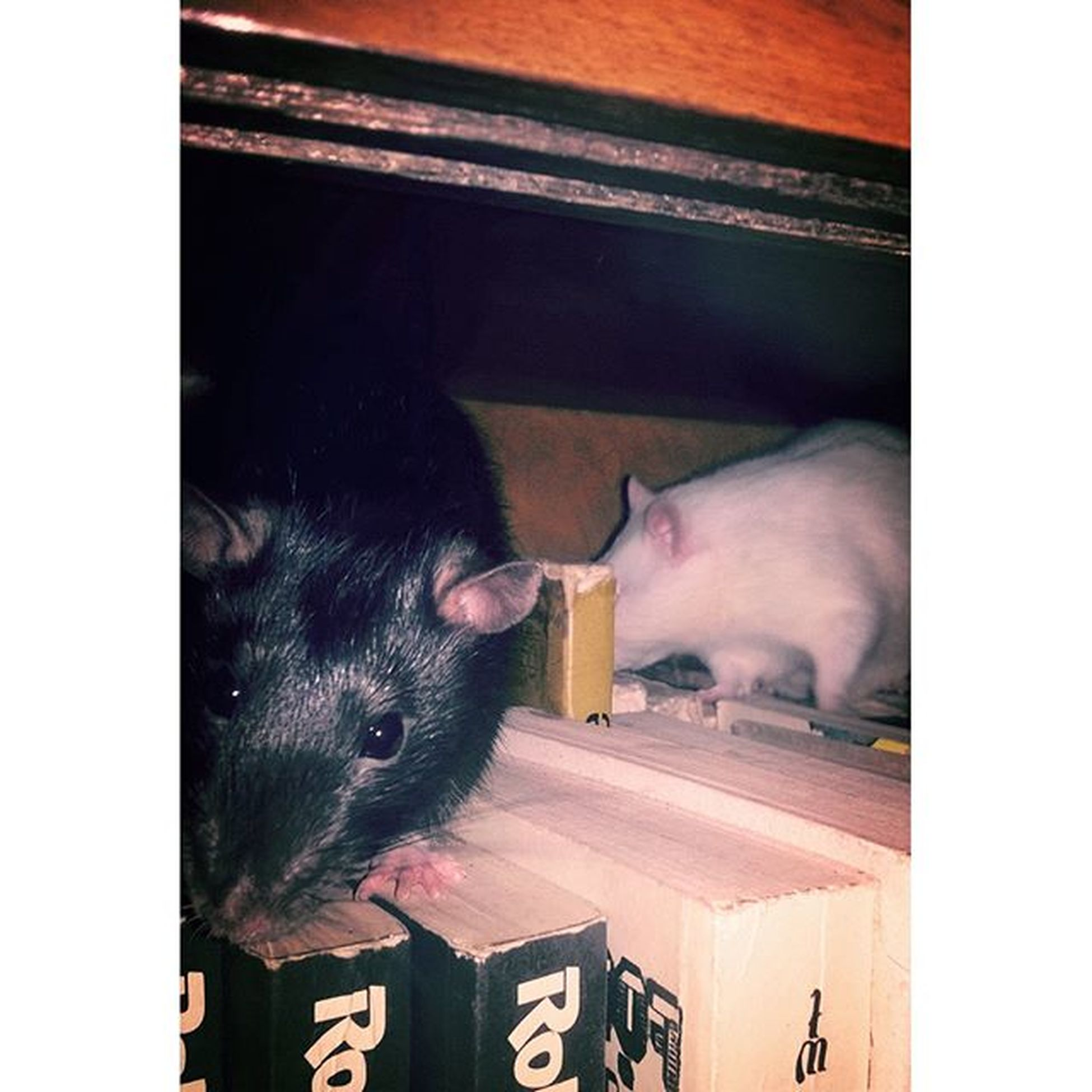 Instarat Futrzak Animal Frends Szczury Bookrat Book