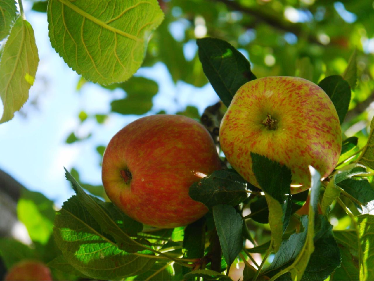 Beautiful stock photos of apple, Apple, Apple - Fruit, Beauty In Nature, Branch