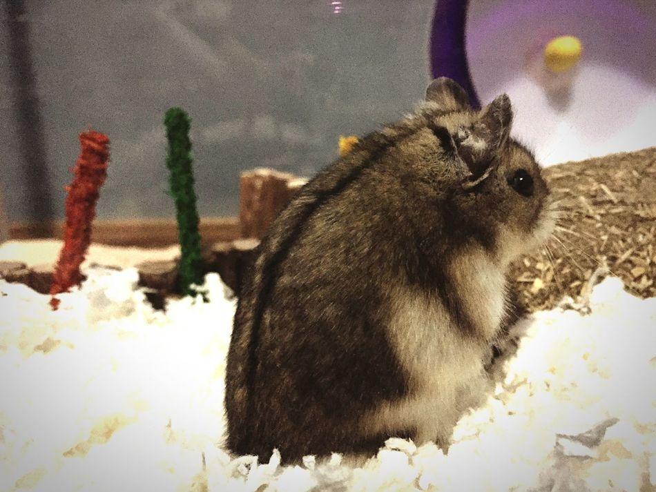 My hamster, Rambo Hamster Rambo
