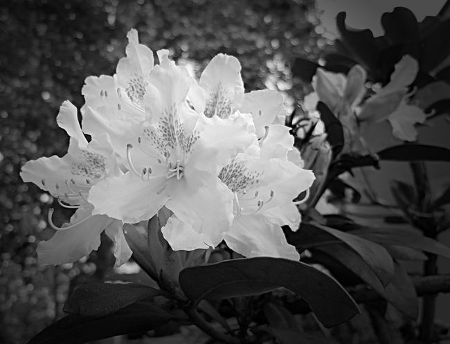 Flowers Vignette Black And White Collection  Petals In Bloom Nature Selective Focus Flower Head Branch