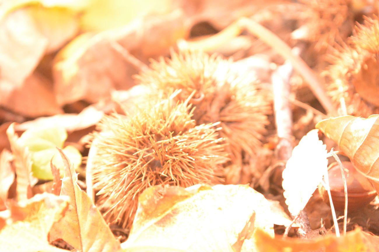 秋 秋 栗 くり Close-up Nature Outdoors Beauty In Nature カメラ女子 Nikon Nikon D5200 ふんわり 森