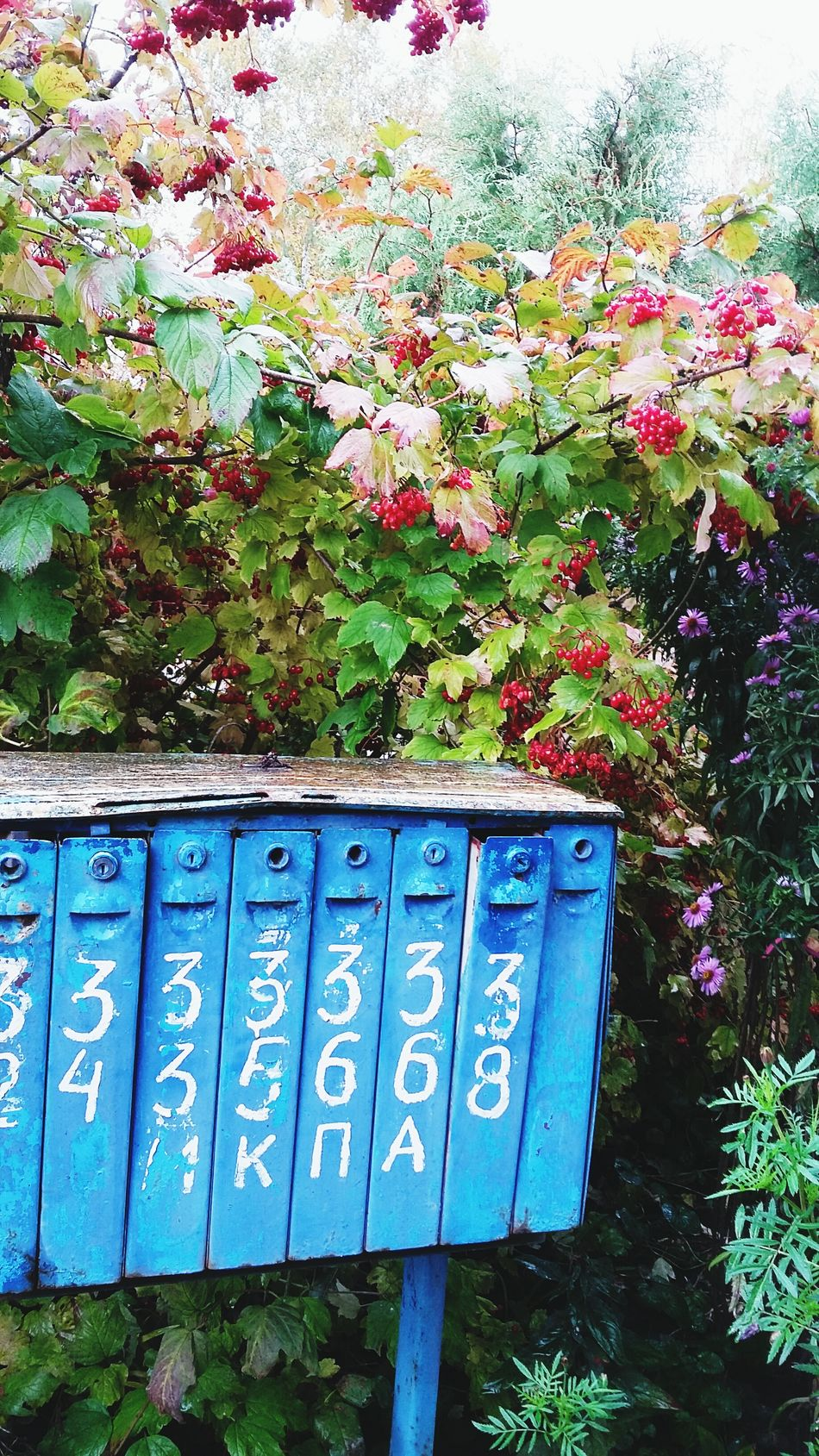 letter-box Cranberry High Boscage Early Fall