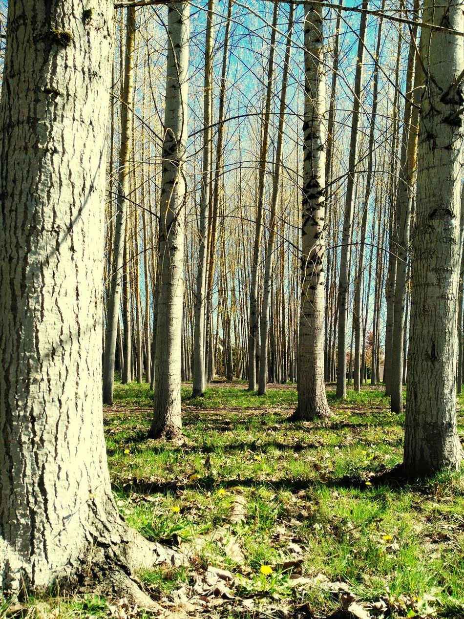 The Giants. Trees In Line Beauty In Nature