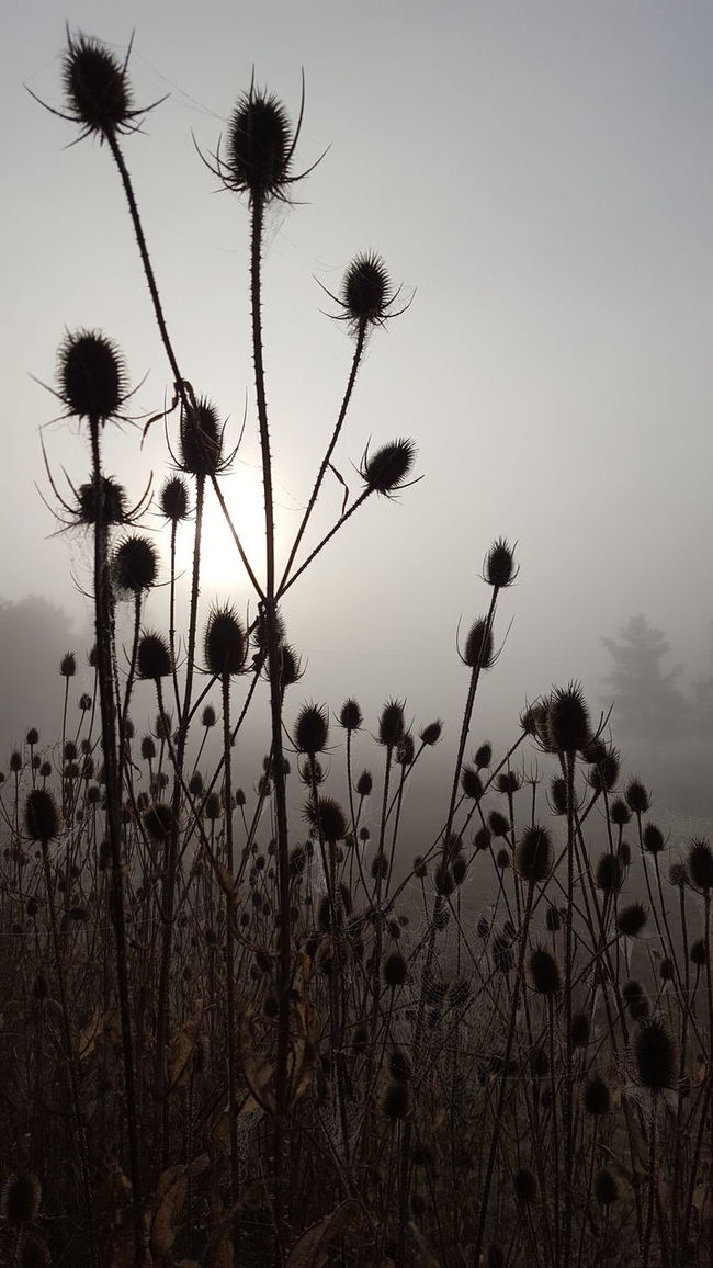 Sky Nature Silhouette Growth Sunset Dusk No People Cloud - Sky Low Angle View Outdoors Plant Thistle Horizontal Beauty In Nature Day Macro New Talents Selective Focus Fog Foggy Morning Full Frame Eye4photography  From My Point Of View Beauty In Nature Focus On Foreground